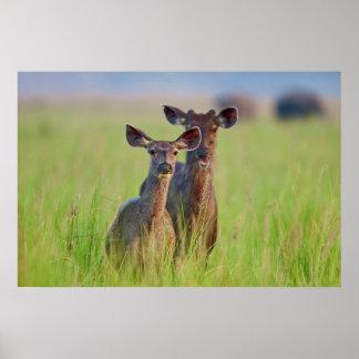 Ciervos en los prados, parque nacional del Sambar Póster