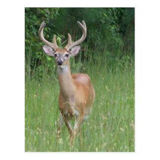 Ciervos en terciopelo postales
