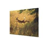 Ciervos que saltan a través de campo impresiones en lienzo estiradas