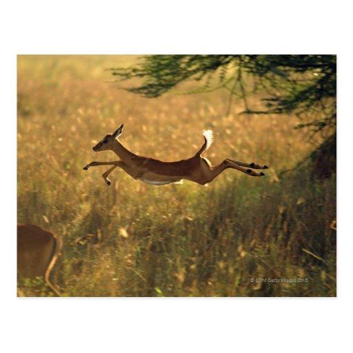 Ciervos que saltan a través de campo postal