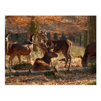 Ciervos rojos en la madera otoñal postales