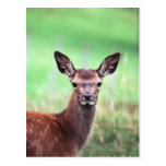 ciervos tarjeta postal
