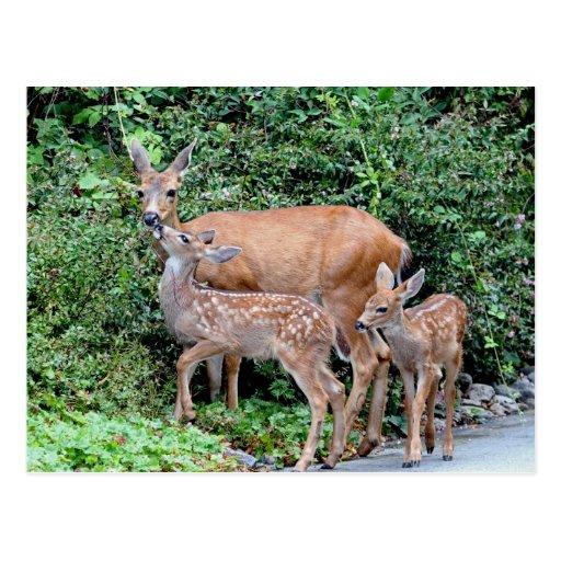 Ciervos y cervatillos postales