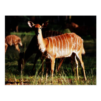 Ciervos yo Nyala Postal