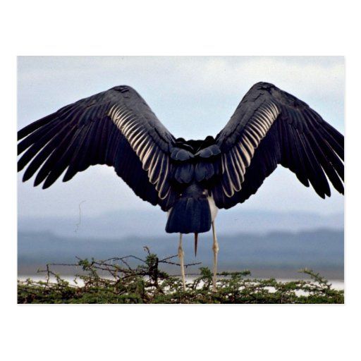 Cigüeña de Maribu con las alas outstretched Tarjeta Postal