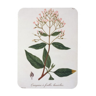 Cinchona from 'Phytographie Medicale' by Joseph Ro Magnet