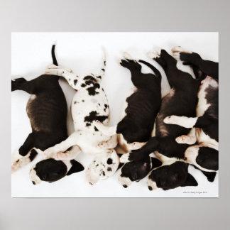Cinco perritos de great dane del Harlequin que due Impresiones
