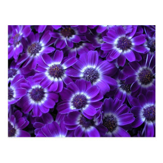 Cinerarias blancos púrpuras postal