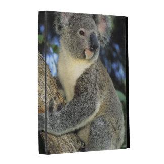 Cinereus de la koala, del Phascolarctos), Australi