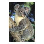 Cinereus de la koala, del Phascolarctos), Australi Arte Fotografico