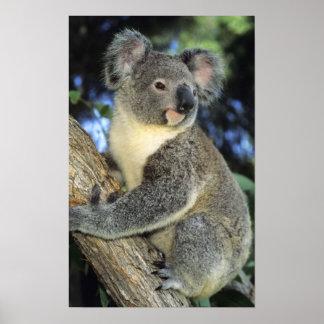 Cinereus de la koala, del Phascolarctos), Australi Impresiones
