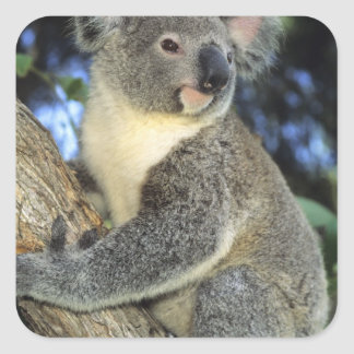 Cinereus de la koala del Phascolarctos Australi Pegatinas Cuadradases Personalizadas