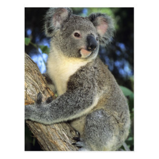 Cinereus de la koala del Phascolarctos Australi Postales