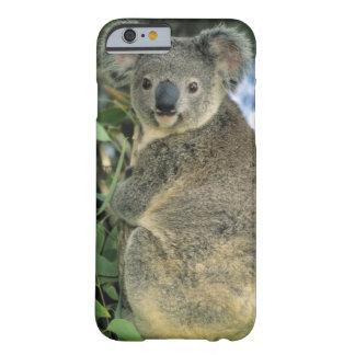 Cinereus de la koala del Phascolarctos en