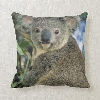 Cinereus de la koala, del Phascolarctos), en pelig Almohadas
