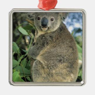 Cinereus de la koala, del Phascolarctos), en pelig Ornamento De Reyes Magos