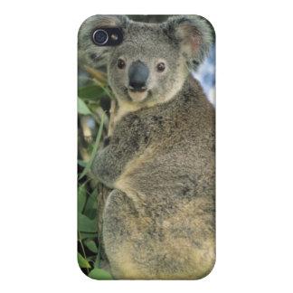 Cinereus de la koala, del Phascolarctos), en pelig iPhone 4 Fundas