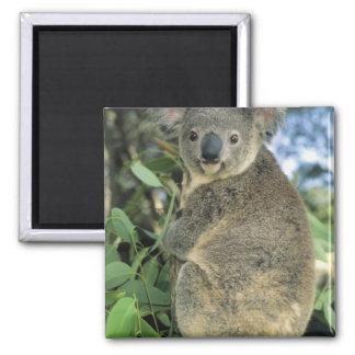 Cinereus de la koala, del Phascolarctos), en pelig Imán De Nevera