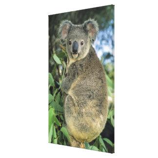 Cinereus de la koala, del Phascolarctos), en pelig Impresiones De Lienzo