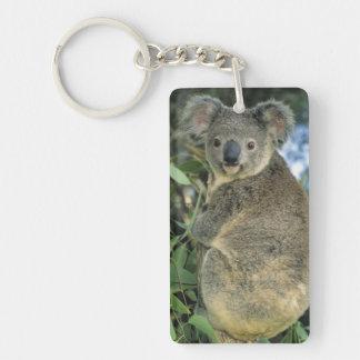 Cinereus de la koala, del Phascolarctos), en pelig Llavero