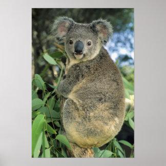 Cinereus de la koala, del Phascolarctos), en pelig Impresiones