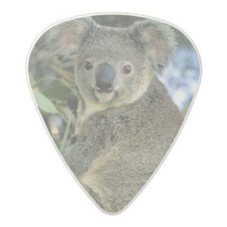 Cinereus de la koala, del Phascolarctos), en pelig