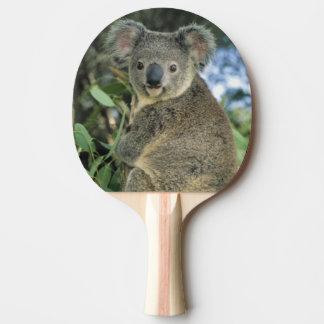Cinereus de la koala, del Phascolarctos), en pelig Pala De Tenis De Mesa