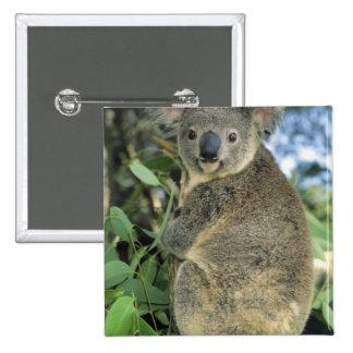 Cinereus de la koala del Phascolarctos en pelig Pin
