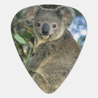 Cinereus de la koala del Phascolarctos en pelig