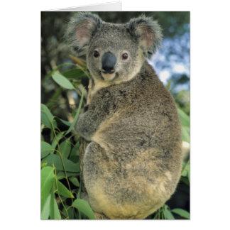 Cinereus de la koala, del Phascolarctos), en pelig Tarjeton