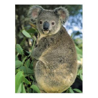 Cinereus de la koala del Phascolarctos en pelig Tarjeta Postal