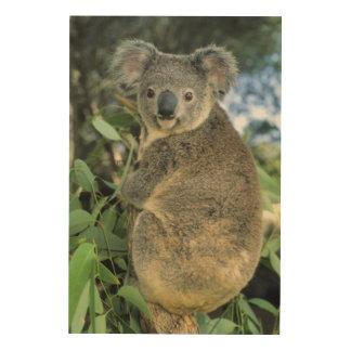 Cinereus de la koala, del Phascolarctos), en pelig Cuadros De Madera