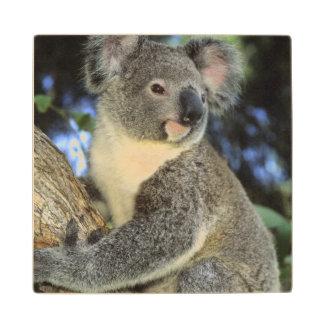 Cinereus de la koala, del Phascolarctos),
