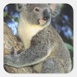 Cinereus de la koala, del Phascolarctos), Pegatinas Cuadradases Personalizadas
