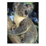 Cinereus de la koala, del Phascolarctos), Postal