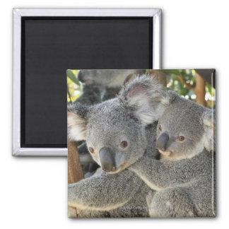 Cinereus Queensland del Phascolarctos de la koala. Imán Cuadrado