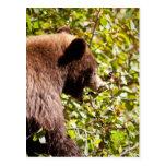 Cinnamon Black Bear Postcard