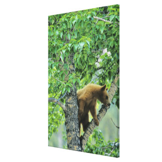 Cinnamon colored black bear in aspen tree in canvas print