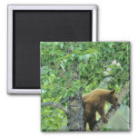 Cinnamon colored black bear in aspen tree in refrigerator magnets