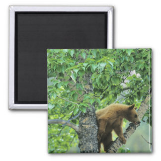 Cinnamon colored black bear in aspen tree in magnet