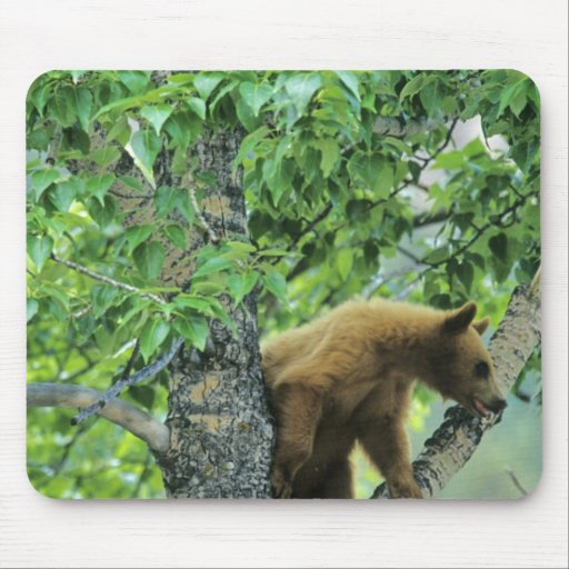 Cinnamon colored black bear in aspen tree in mouse pad