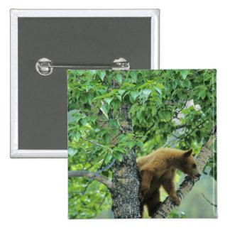 Cinnamon colored black bear in aspen tree in pinback button