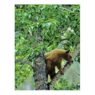 Cinnamon colored black bear in aspen tree in postcard