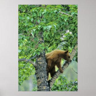 Cinnamon colored black bear in aspen tree in poster