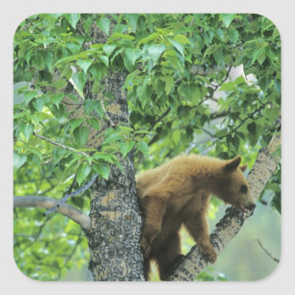 Cinnamon colored black bear in aspen tree in square sticker
