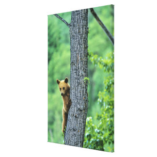 Cinnamon colored black bear in tree in canvas print