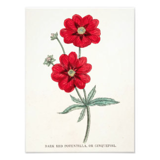 Cinquefoil rojo del Potentilla de la flor de los 1 Impresión Fotográfica