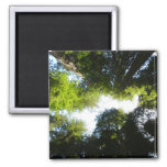 Circle of Redwood Trees in Redwood National Park 2 Inch Square Magnet
