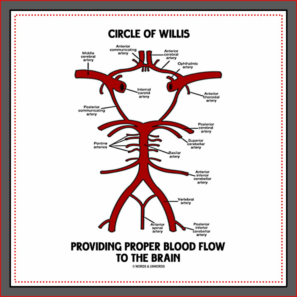Old Fashioned Anatomy Of The Circle Of Willis Inspiration - Anatomy ...
