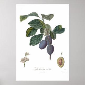 Ciruelo, violette de Imperatrice Póster